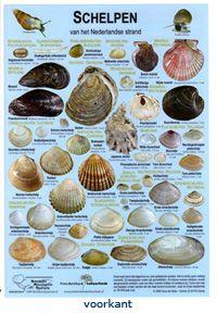 sea shell guide