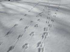 animal-tracks-snow-wmkyDOTorg.jpg