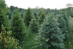 christmas tree wild